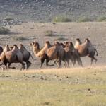 Il convoie ses chameaux