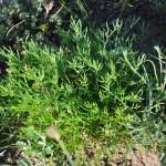 Navachgui bagluur, plante très odorifante