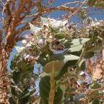 Fleur du calotropis